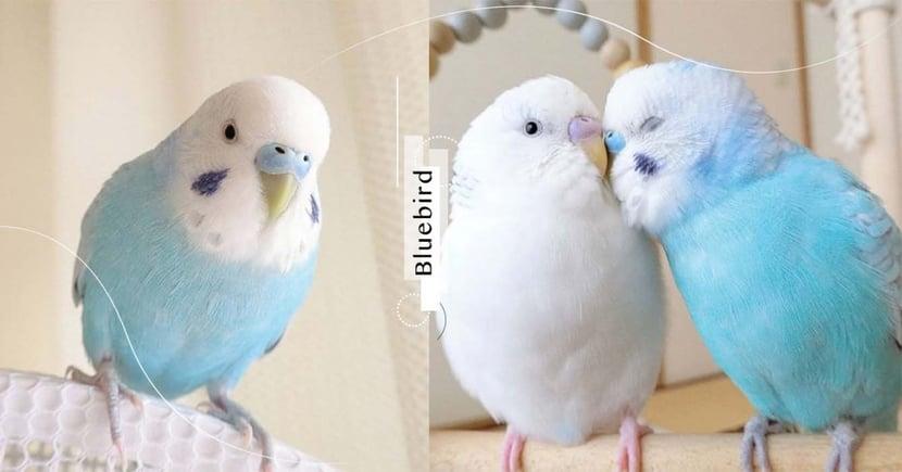 夢幻寶寶藍小鸚鵡超萌~兩頰點綴「天使的淚滴」宛如童話中帶來幸福的青鳥