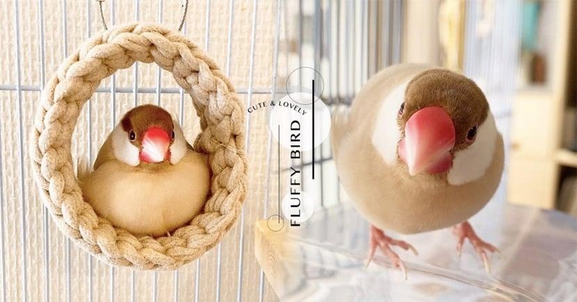 超萌禾雀「小摩卡」駕到!嘟嘟嘴邊肉+肉桂色羽毛,溫暖療癒你的秋冬♡