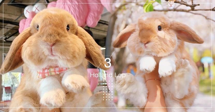 人氣網紅兔兔駕到!短毛垂耳兔「胖胖」呆萌外型超像絨毛娃娃,肉嘟嘟臉頰可愛爆表♡