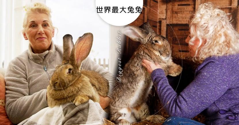 怎麼可以偷兔兔?!英國「129cm世界最大兔子」被偷!飼主「懸賞8萬」急盼愛兔平安回家